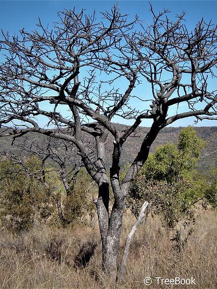 Lannea discolor   Live-long   Dikbas   Deciduous tree flowering in profusion