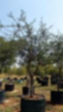 Large Black monkey thorn for sale | Acacia/Senegalia burkei in 450L for sale