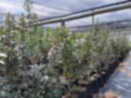 Transvaal milkplum for sale | Stamvrug | Englerophytum magalismontanum.jpg