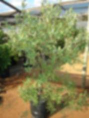 Blue guarri   Euclea crispa in 50L for sale