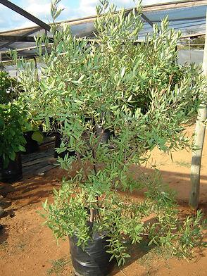 Rooibos in 100L te koop   Combretum apiculatum