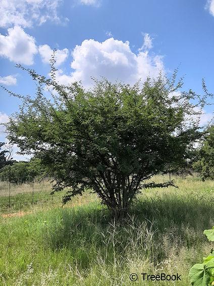 Dichrostachys cinerea | Sickle-bush | Sekelbos | Ideal security screen