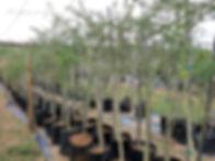 Fever-tree for sale | Koorsboom |Vachellia xanthophloea.jpg