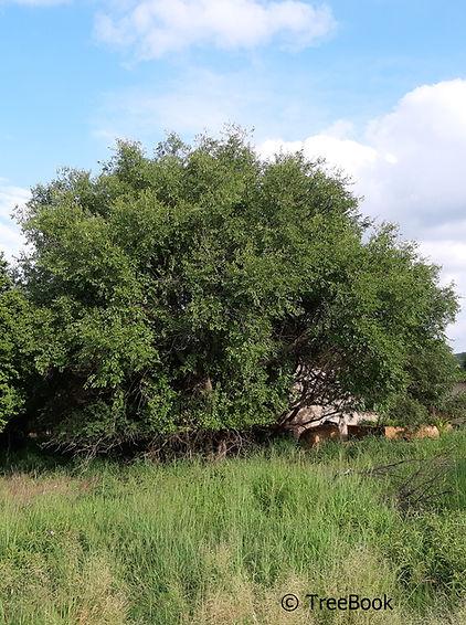Ziziphus mucronata   Buffelo thorn   A very hardy, black frost resistant tree