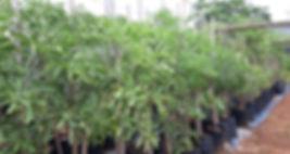Forest cabbage-tree for sale | Boskiepersol | Cussonia sphaerocephala.jpg