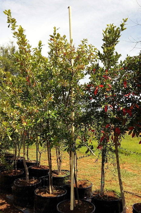 Combretum krausii | Bosvaderlandswilg | Forest Bushwillow in 100L for sale