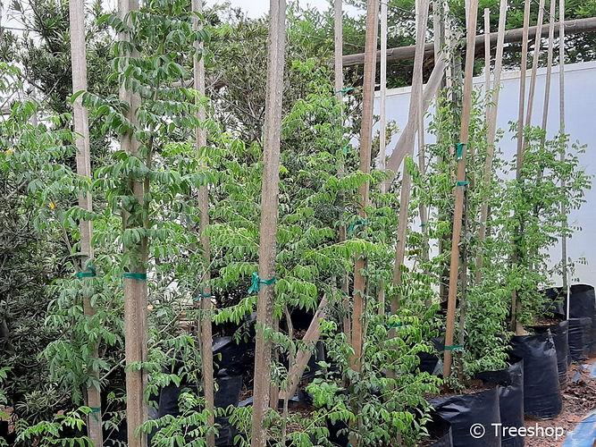 Nyala-tree for sale in 50L | Xanthocersis zambesiaca C.jpg
