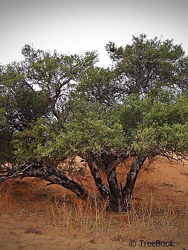 Boscia albitrunca   Shepherds-tree   Matopie, Witgat   Its white trunk is characteristic