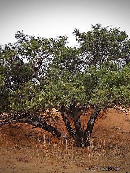 Boscia albitrunca | Shepherds-tree | Matopie, Witgat | Its white trunk is characteristic