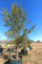 Podocarpus latifolius in 450L for sale | Real Yellowwood