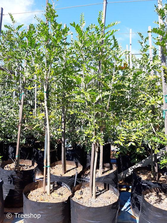 Sneezewood tree for sale | Nieshout boom | Ptaeroxylon obliquum.jpg