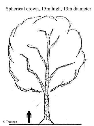 Shape & Size icon of Diospyros mespiliformis  (Jackal-berry)