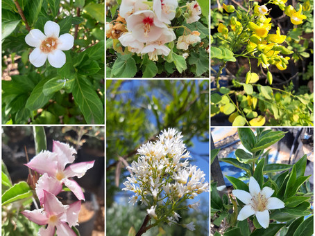 5 trees for very small gardens: South African indigenous trees