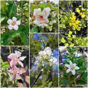 Collage of flowers of trees indigenous to Southern Africa