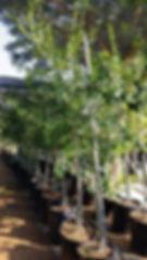 White pear tree for sale in 50L | Apodytes dimidiata