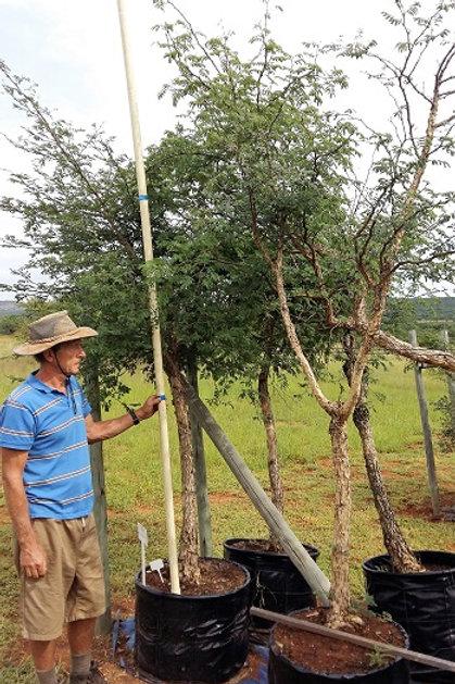 Acacia galpinii | Apiesdoring | Monkey Thorn in 100L for sale
