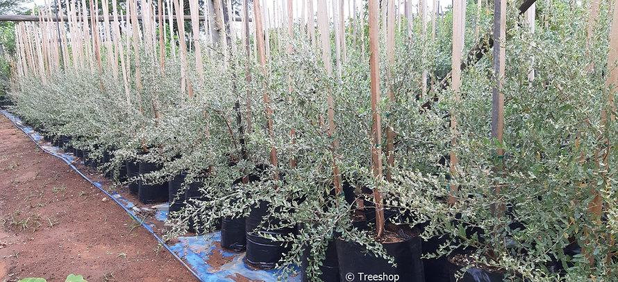 Leadwood tree for sale in 50L | Combretum imberbe C.jpg