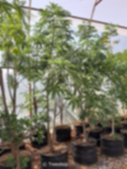 Sterculia murex 100L C.jpg