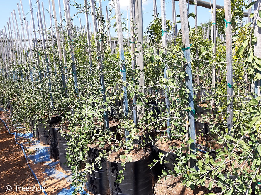 Puzzle-bush for sale | Deurmekaarbos | Ehretia rigida.jpg