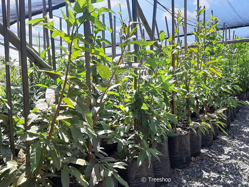Rooiblaarvy te koop in 50L | Ficus ingens