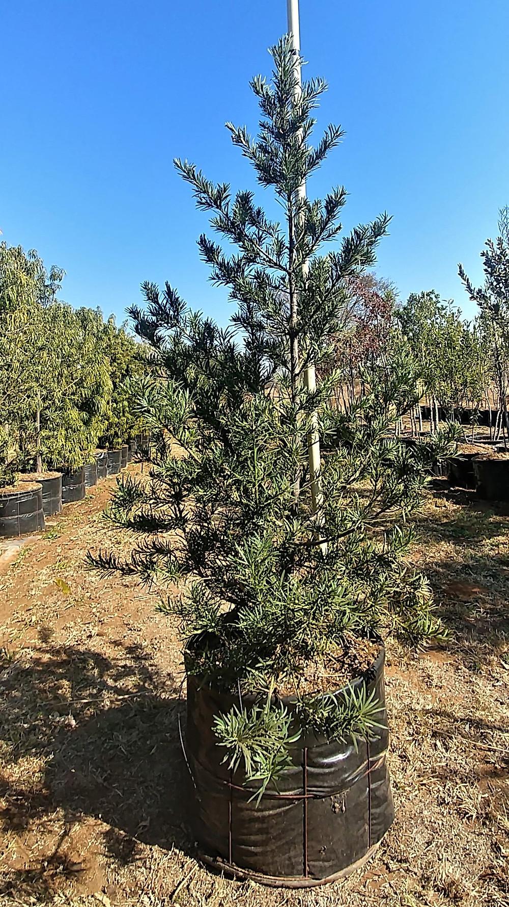 Breede River Yellowwood. Podocarpus latifolius