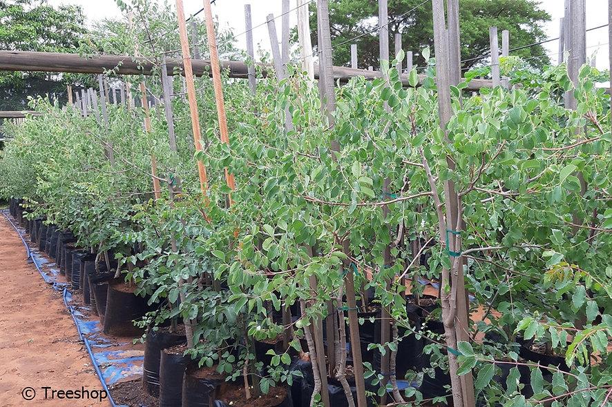 Marula trees for sale | Maroela boom | Sclerocarya birrea.jpg