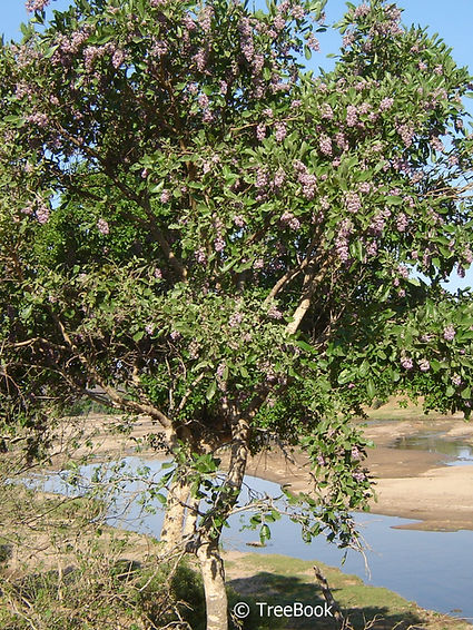Philenoptera violacea | Apple-leaf | Flowering tree which produces violet-blue flowers in profusion