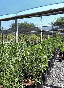 Vaalkiepersol te koop in 50L | Cussonia Transvaalensis