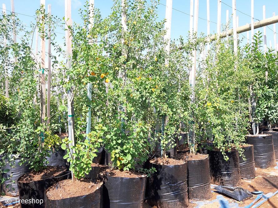 Lightning-bush for sale in 50L | Clutia pulchella