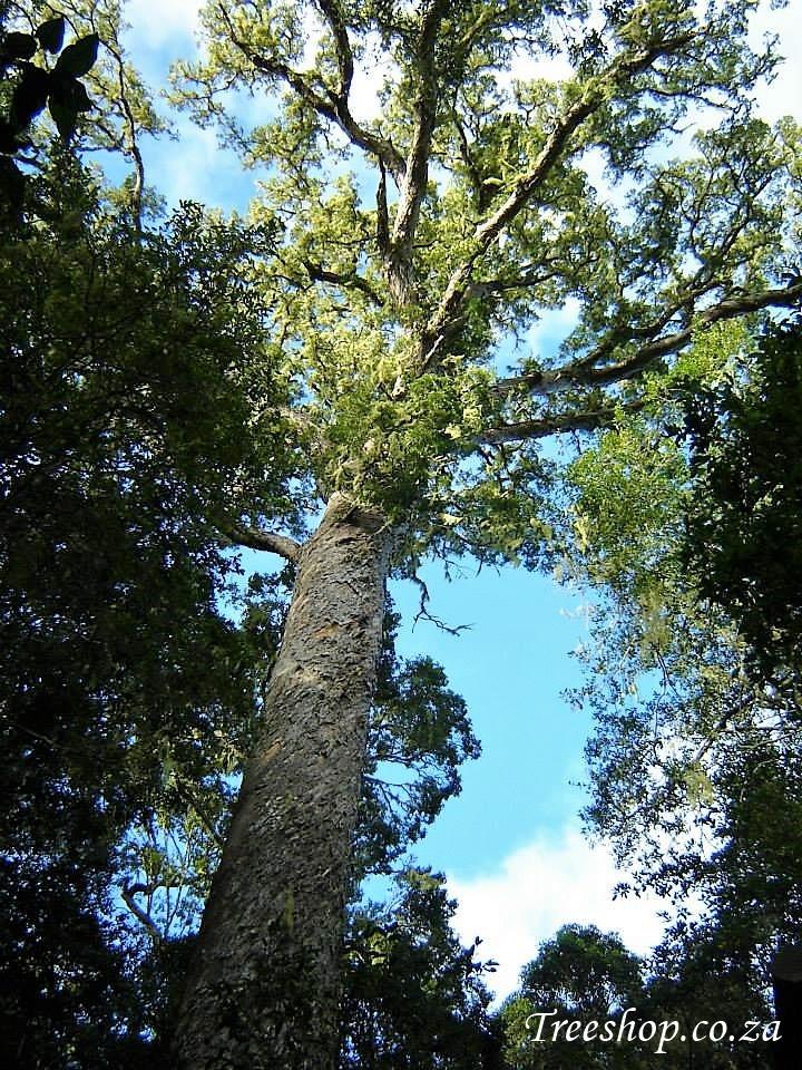 Podocarpus falcatus | Afrocarpus falcatus | Outeniqua Yellowwood