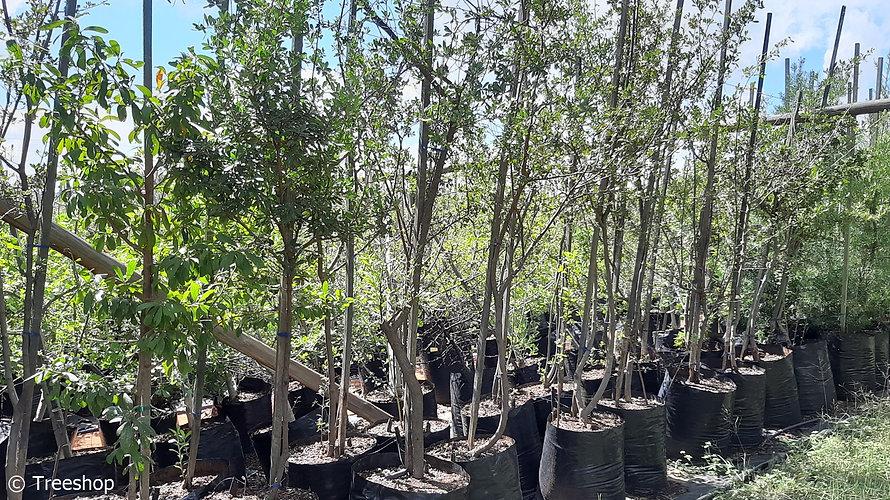 Bluebush tree for sale | Bloubos | Diospyros lycioides.jpg