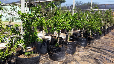 Keiappel boom in 50L te koop | Dovyalis caffra