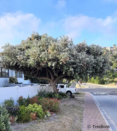 Brachylaena discolor   Coast silver oak   Evergreen, fast growing