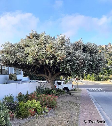 Brachylaena discolor | Coast silver oak | Evergreen, fast growing