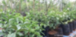 Velvet Wild-medlar for sale   Wildemispel   Vaungueria infausta.jpg