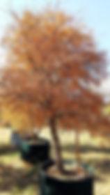Acacia nigrescens | Knob Thorn in full autumn colors