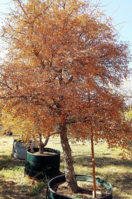 Acacia nigrescens | Knob-thorn | Knoppiesdoring in 450L for sale