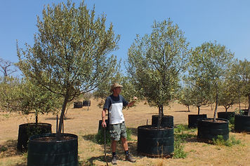 Groot Olienhout te koop. Olea europaea ss africana in 450L