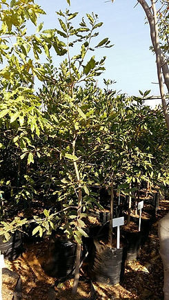 Jakkalsbessie in 50L te koop | Diospyros mespiliformis