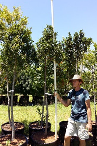 Ilex mitis | Without | African Holly in 100L for sale