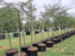 Fever-tree for sale | Koorsboom | Vachellia xanthophloea 100L.jpg