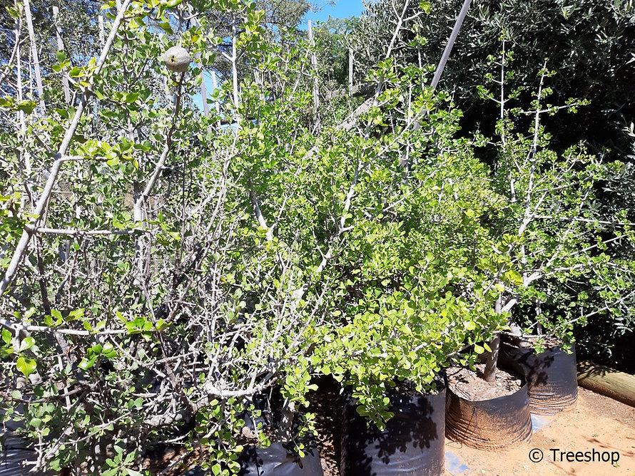 Gardenia volkensii C.jpg