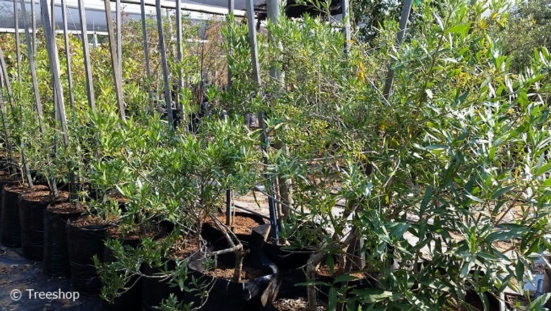 Weeping bride's bush for sale | Treurbruidsbos | Pavetta lanceolata C.jpg
