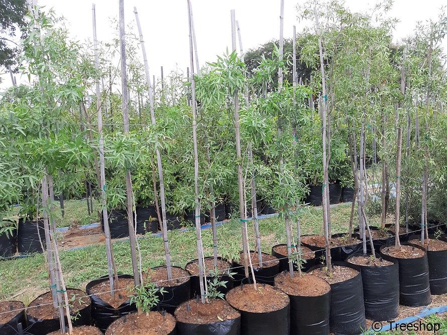 White karee for sale | Witkaree | Searsia pendulina.jpg