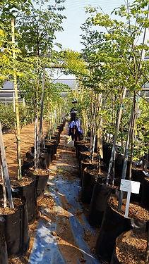 Luiperdboom in 50L te koop | Caesalpinia ferra