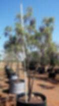 Tree Wisteria for sale | Bolusanthus speciosus in 450L