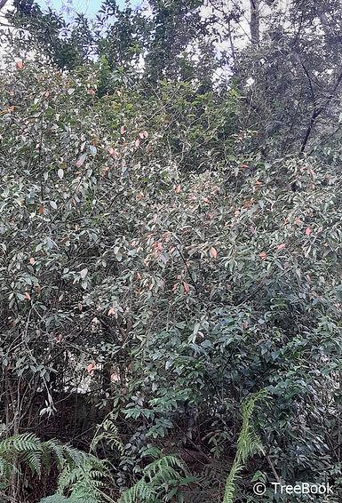 Clutia pulchella | Lightning bush | A feature tree