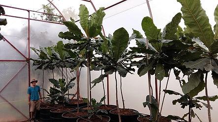 Boskoorsboom in 450L te koop | Anthocleista grandiflora