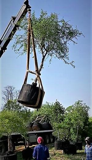 groot inheemse bome te koop