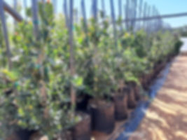 Waterberry for sale | Waterbessie | Syzygium cordatum.jpg